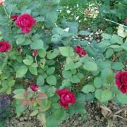 Роуз дес 4 Вентс