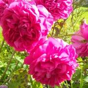 Розы Дарк Леди