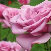 Розы Силвер Стар