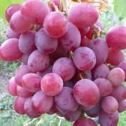 Виноград Минский розовый