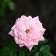 Розы Буш Бейби