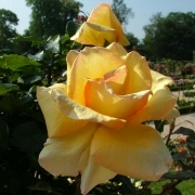Розы Делициа