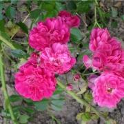 Розы Фейри Чейнджлинг