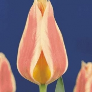 Тюльпаны Сайлент Пис