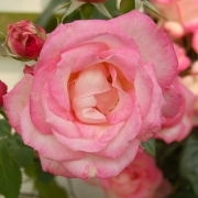 Розы Десири