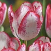 Тюльпаны Дениз