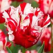 Тюльпаны Эстелла Риджнвельд
