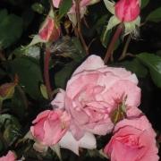 Roses Queen Elizabeth (Queen of England, The Queen Elizabeth Rose)