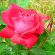 Розы Софи Лорен