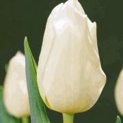 Тюльпаны Лардиноис