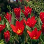 Тюльпаны Ориентал Бьюти