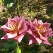 Розы Инкогнито