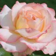 Розы Пьер Черния