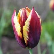 Тюльпаны Гавота
