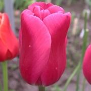 Тюльпаны Махра