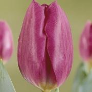 Тюльпаны Блю Чемпион