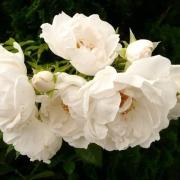 Розы Хелла