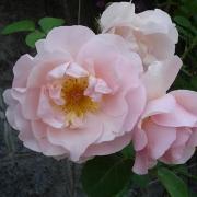 Розы Люцетта