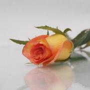 Розы Утопия