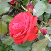Розы Монтана