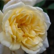 Розы Малверн Хиллс
