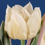 Тюльпаны Гинрей