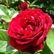 Розы Ред Абунданс
