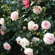 Розы Дроннинг Маргрет