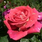 Розы Пестрая Фантазия