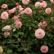 Розы Роузнборг
