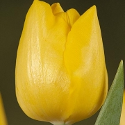 Тюльпаны Олимпик Медал