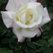 Розы Уайт Флоршоу