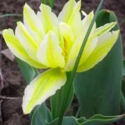 Тюльпаны Монте Свит
