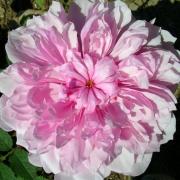 Розы Систер Елизабет