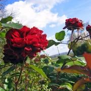 Розы Надя Ренессанс