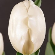 Тюльпаны Мэйджик Маунтэйн
