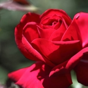 Розы Инвинсибл