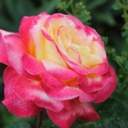 Розы Пуллман Ориент Экспресс