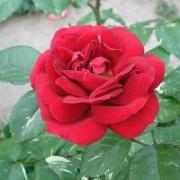 Розы Эли Семун