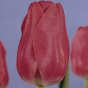 Тюльпаны Ариана