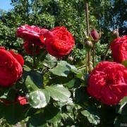 Розы Традескант