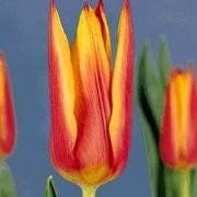 Тюльпаны Роял Дизайн