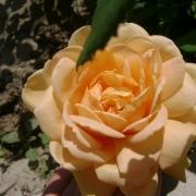 Розы Голден Клаймбер