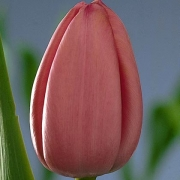 Тюльпаны Пинк Суприм