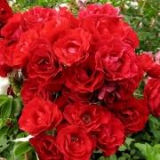 Розы Хоуп фо Хуманити