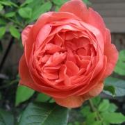 Розы Саммер Сонг