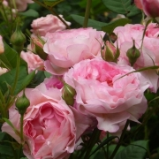 Розы Мадам де Стаел