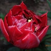 Тюльпаны Абба