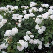 Розы Фейр Бианка