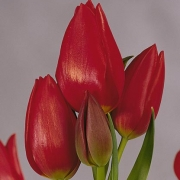 Тюльпаны Блю Риббон